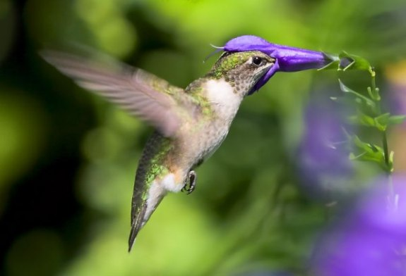 Anthony Tortoriello's Hummingbird