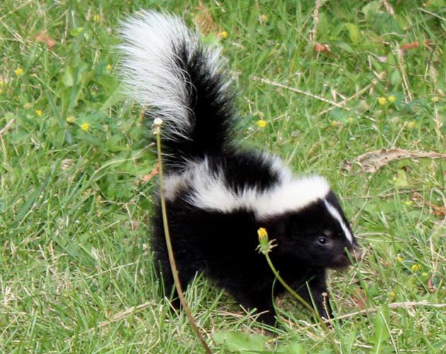 Post - Skunk