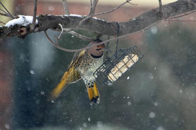 Bird Focus:  Northern Flicker