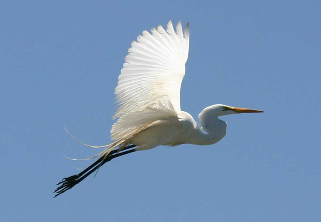 Post - Birds of Barrington - Great Egret - 1