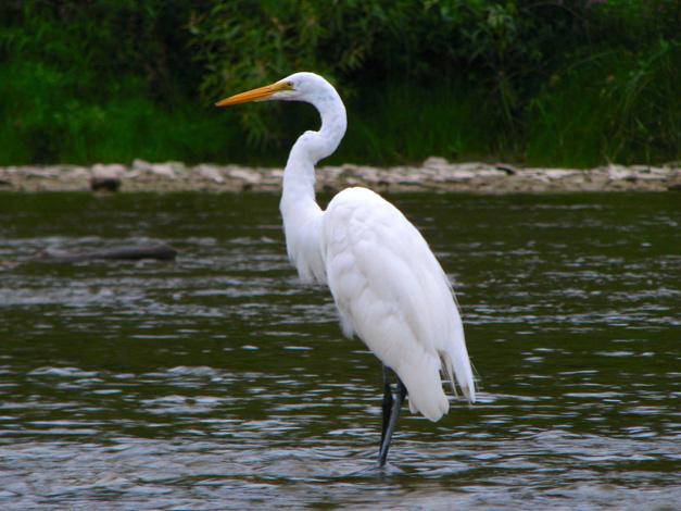 Birds of Barrington:  Great Egret