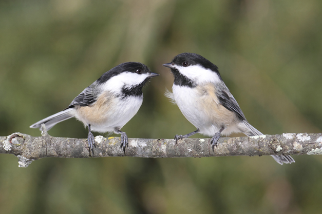 Birds of Barrington: Black Capped Chickadee