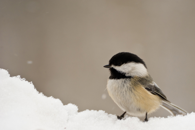 Birds of Barrington with Wendy Paulson: The Black-Capped Chickadee