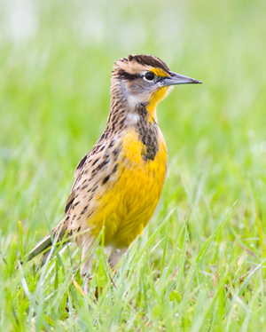 Post 300 - Eastern Meadowlark - 2