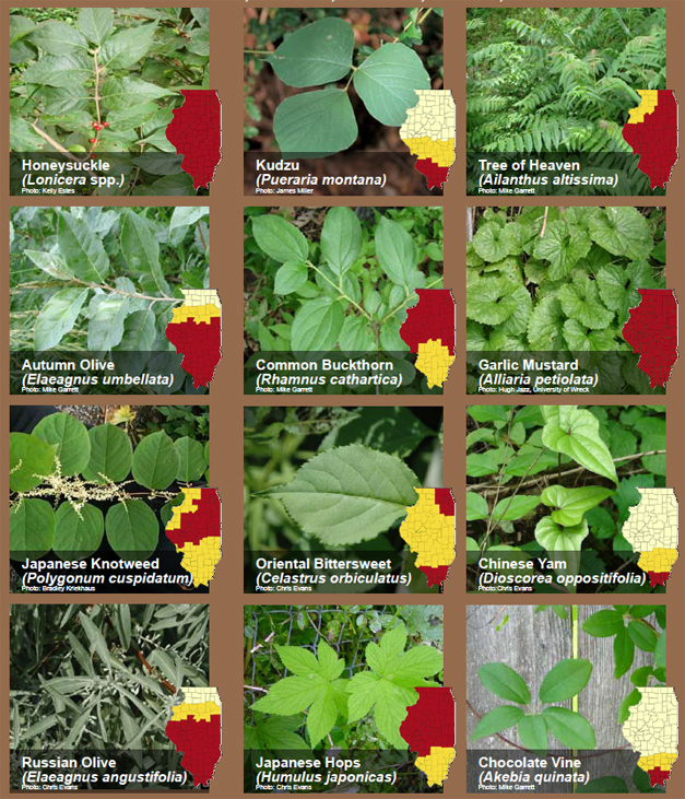 Illinois Invasive Plants - Courtesy of rtrcwma.org