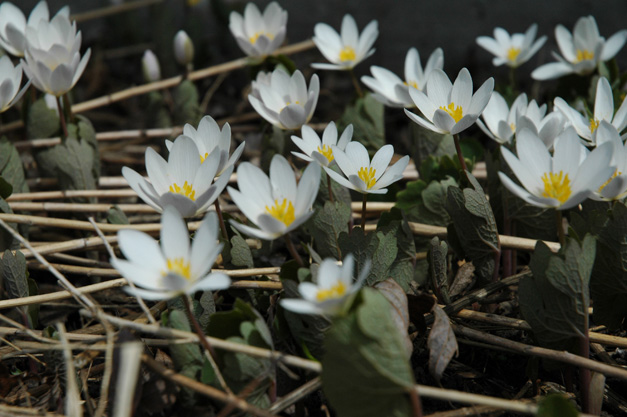 Bloodroot, Native to Barrington - Photographed by April Anderson