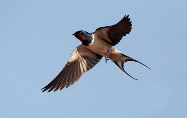 Birds of Barrington with Wendy Paulson:  Barn Swallow