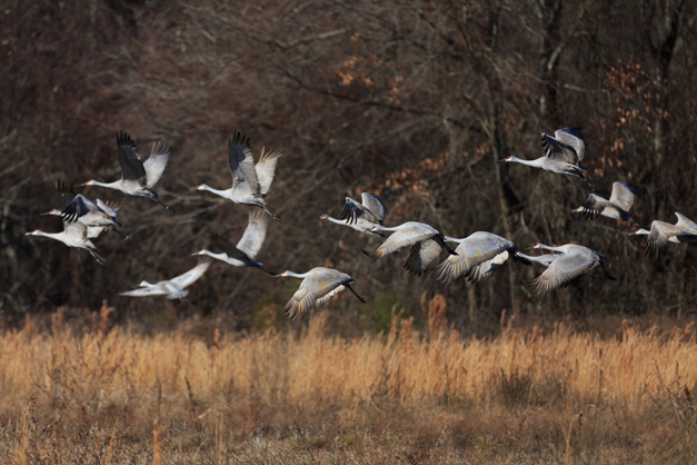 Wendy Paulson's Birds of Barrington - Sandhill Crane