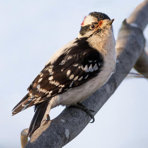 Birds of Barrington with Wendy Paulson: Downy Woodpecker