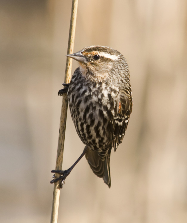 Birds of Barrington with Wendy Paulson - Red-winged Blackbird