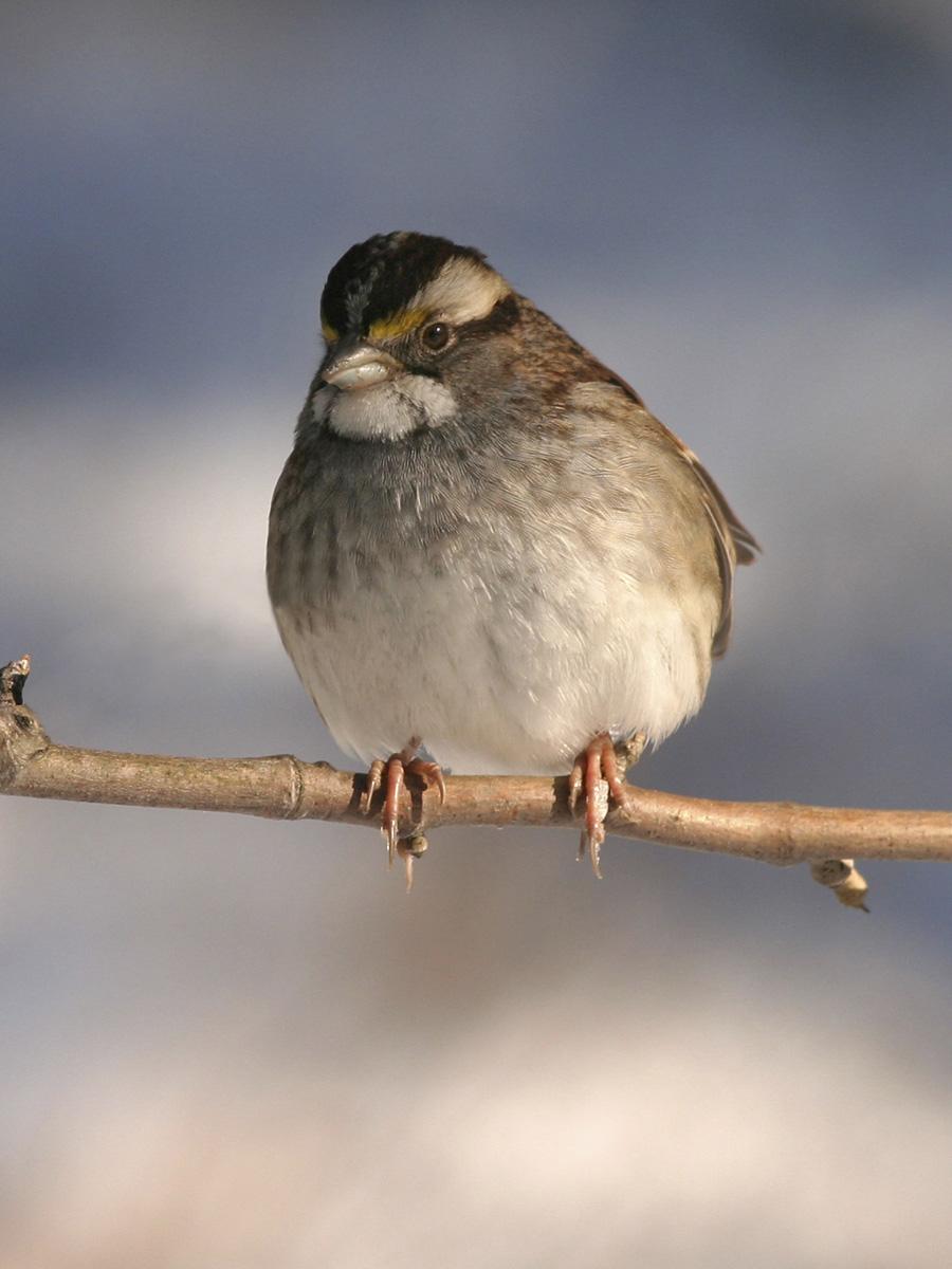 Post - Birds of Barrington - White-throated Sparrow