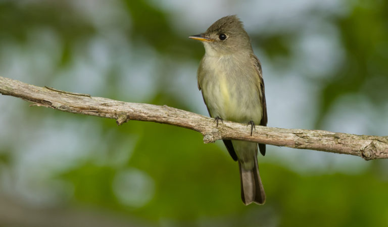Birds of Barrington with Wendy Paulson | Eastern Wood Peewee