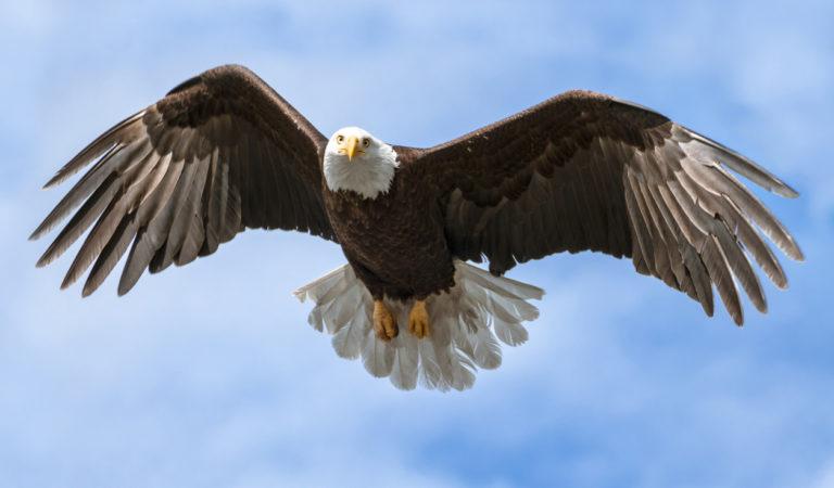Birds of Barrington with Wendy Paulson | Bald Eagle